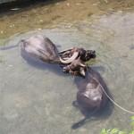 Die Wasserbüffel genießen ein Bad