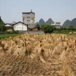 So sieht ein abgeerntetes Reisfeld aus