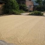 der Reis wird getrocknet