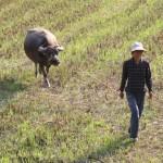 chinesische Viehscheid