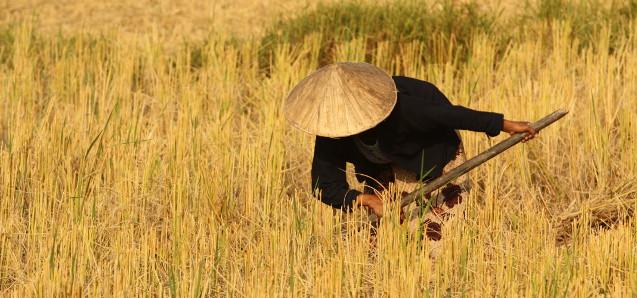 goldene Reisfelder: Khong Lo Village