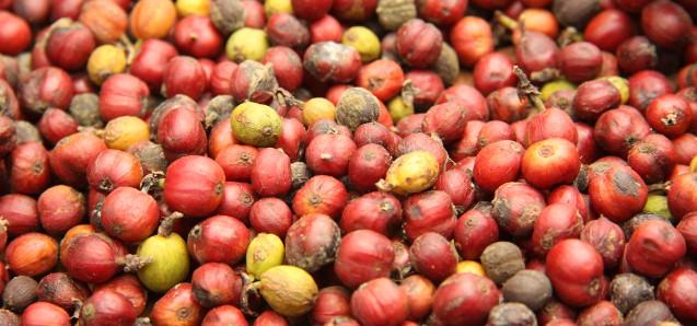 Kaffeebohnen in der Sonne: Bolaven Plateau