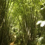 riesiger Bambus