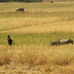 Junge Wasserbüffel auf den Feldern