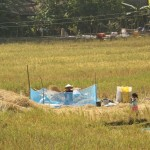 Frau beim Reisdreschen