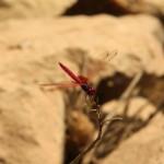 Pink-Orange Libelle