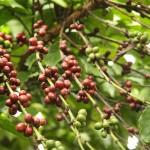 Kaffeeplanze in Mr. Viengs Garten