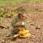 diebische Affenbande - die Bananen wurde direkt vom fahrenden Roller gestohlen!