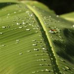 Bananenblatt am Morgen