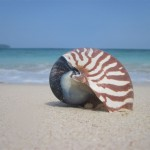 Nautilus - Perlboot am Strand gefunden