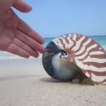 ganz schon groß - Nautilus - Perlboot